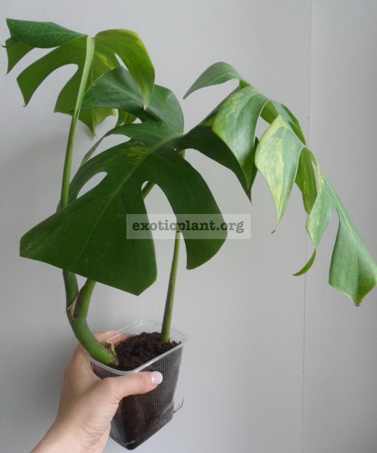 растение готово к помещению в тепличку