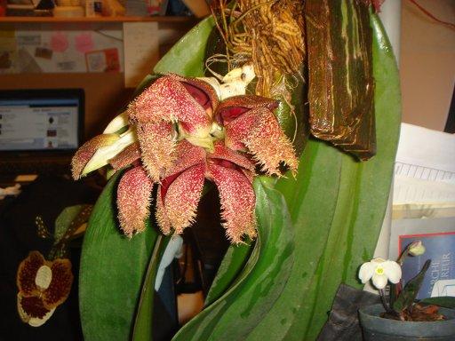 111 Bulbophyllum phalaenopsis BS 130