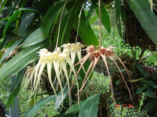 123 Bulbophyllum sanguineopunctatum  white  BS 30
