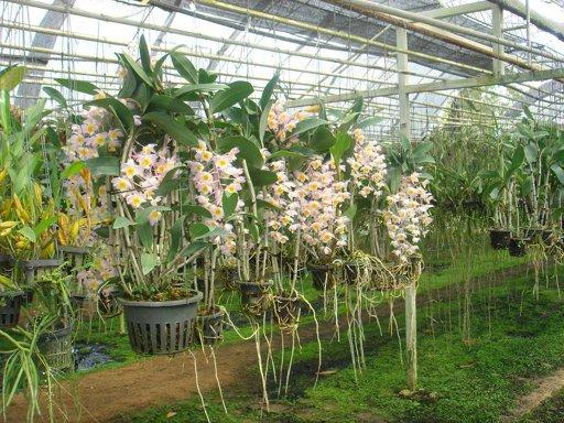 197 Dendrobium amabile BS 100