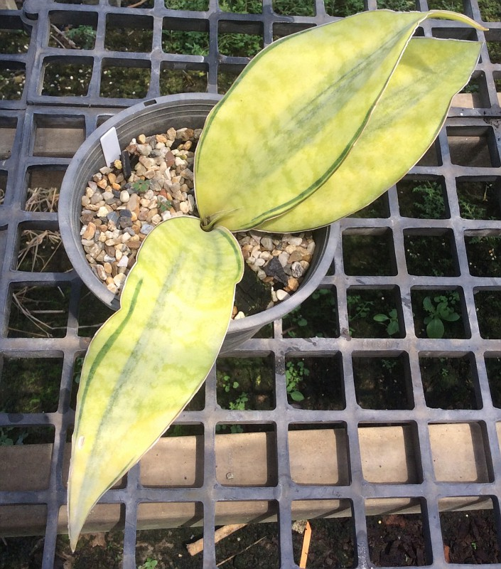 223 masoniana yellow center variegated 30-50