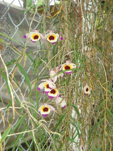 241 Dendrobium falconeri (JQ-228 ) BS 20