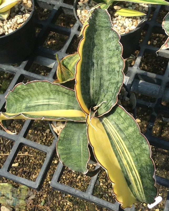 244 sp Specks nr 21298 «Jade Dragon» variegated 500