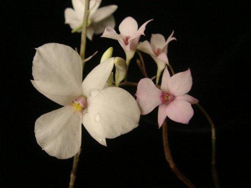 205 Dendrobium barbatulum BS 20