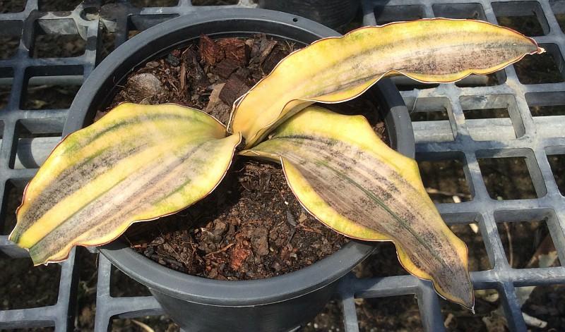 276 kirkii var. pulchra «Coppertone» variegated 55-90