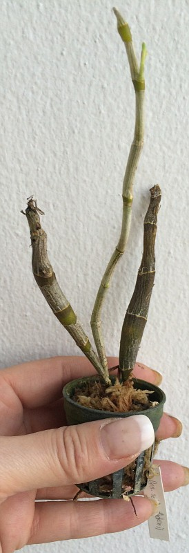 289 Dendrobium seidenfadenii/dickasonii BS 20