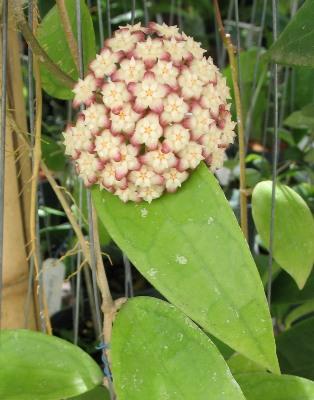 298 Hoya finlaysonii (Burma#1) Wax leaf 30