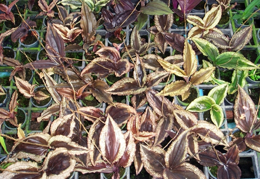 372 Malaxis calophylla BS 12-40