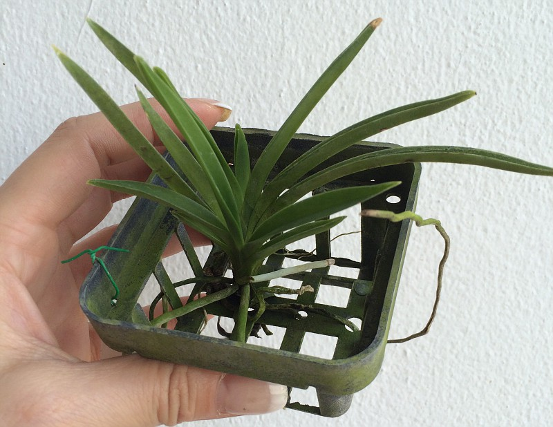 387 Neofinetia falcata  white  Fragrant BS 12-40