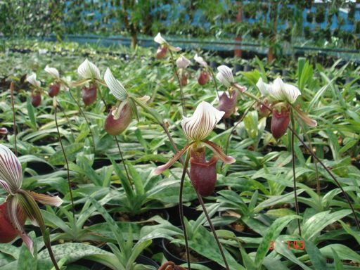 413 Paphiopedilum barbatum (JQ-171) Per growth BS 55