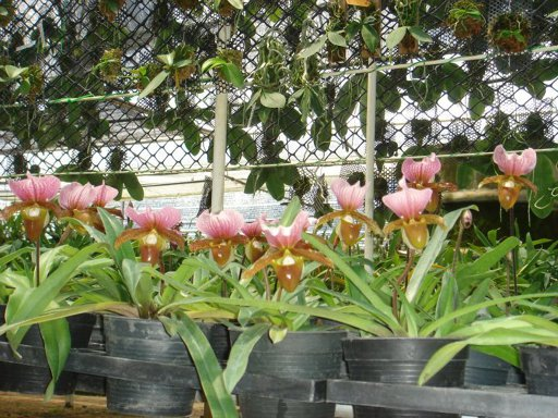417 Paphiopedilum charlesworthii Per growth BS 20