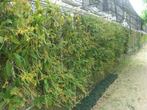 453 Phalaenopsis cornu-cervi BS 12-40