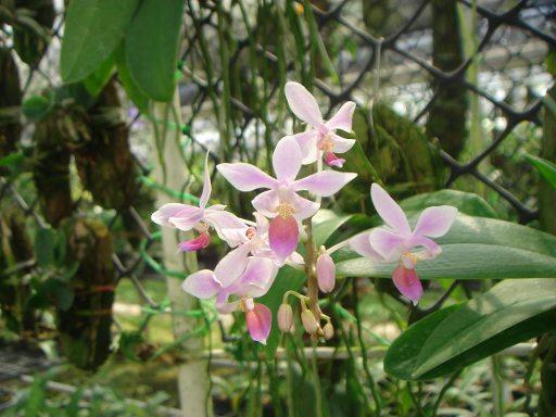 456 Phalaenopsis equestris BS 30