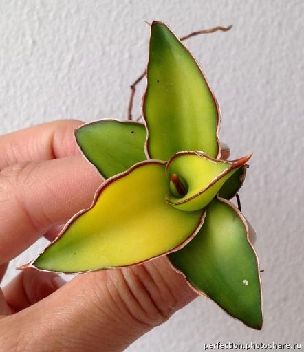 510 Zanzibarica yellow variegated 50-100
