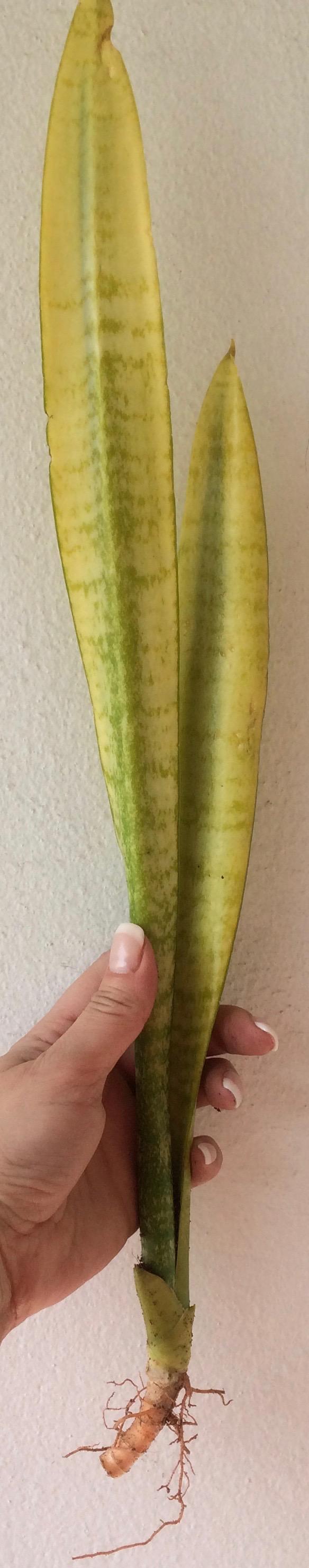 514trifasciata yellow mutation 30   временно не доступна к заказу