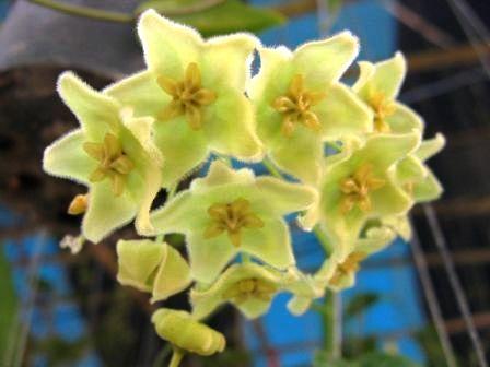 53 Hoya chlorantha 14