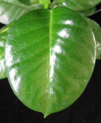 655 Hoya sp.655 PNG (aff naumanii) 30