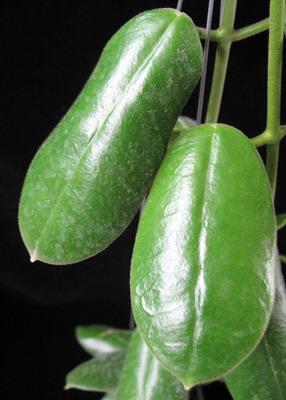 658 Hoya sp.658 Borneo 35