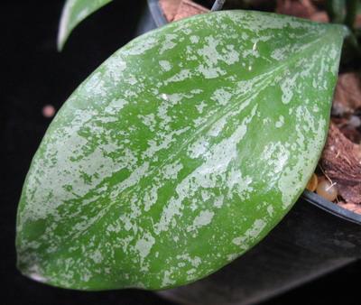 664 Hoya vanuatuensis 'Splash  43
