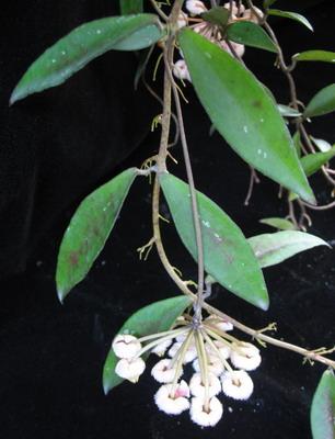 689 Hoya sp.689 (wax leaf) Umpang Tark province 38