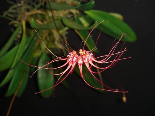 73 Bulbophyllum gracillimum BS 20