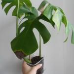 растение до санитарной обработки
