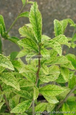 Acalypha siamensis variegated 24