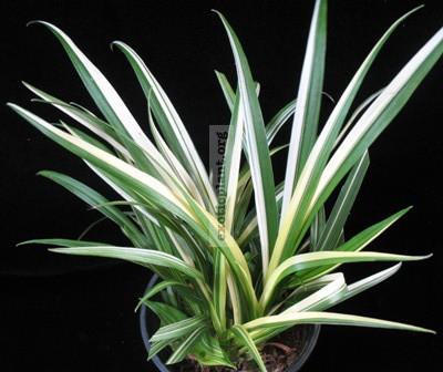 Acorus sp (T01) variegated 22