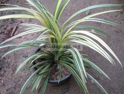 Acorus sp.(T01) variegata 22