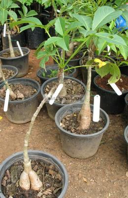 Adansonia gregorii 50