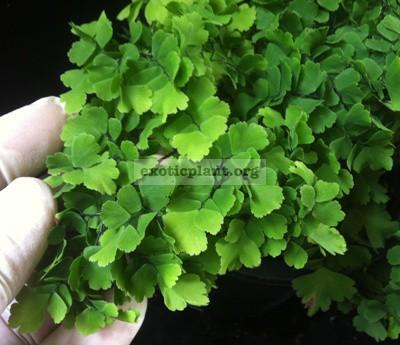 Adiantum tenerum cv Bassoniae 35