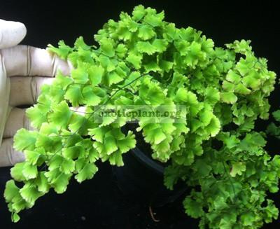Adiantum tenerum cv Farleyense 35