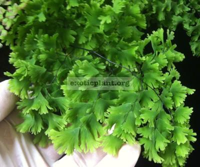 Adiantum tenerum cv Gloriosum Roseum 35