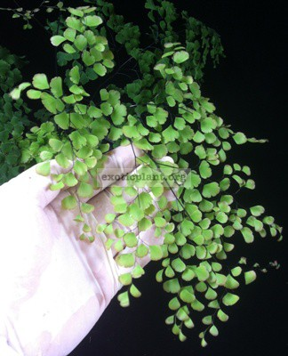 Adiantum tenerum cv Red Crown 35