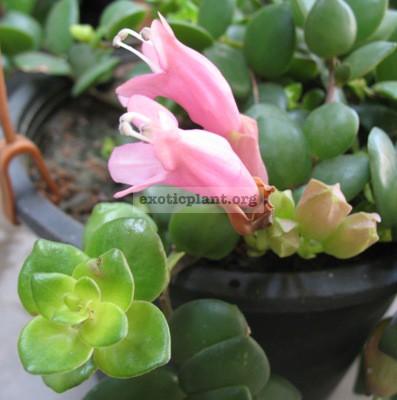 Aeschynanthus Sweet Heart 16