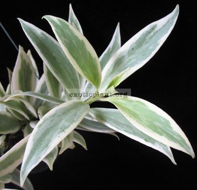 Aeshynanthus hilderbrandii variegated 33