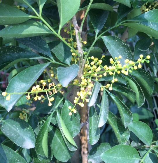 Aglaia odorata 'Maxima' 30