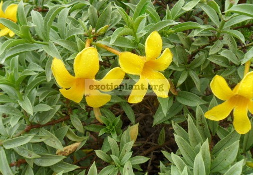 Allamanda sp.(T05) 'Silver leaf' (yellow flower) 20