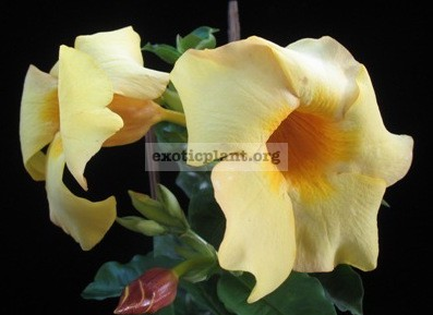 Allamanda sp.(T06) wax leaf 20