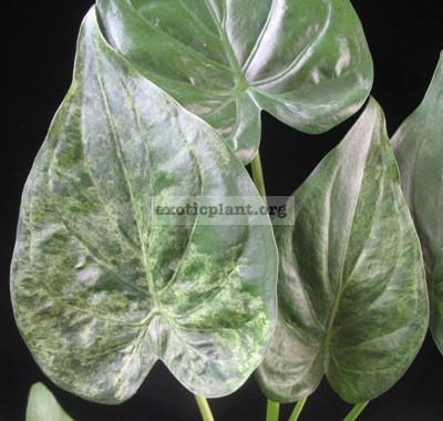 Alocasia cucullata (white variegated) 30