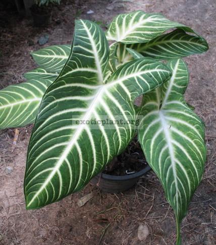 Alocasia lindenii (Xanthosoma lindenii) 20