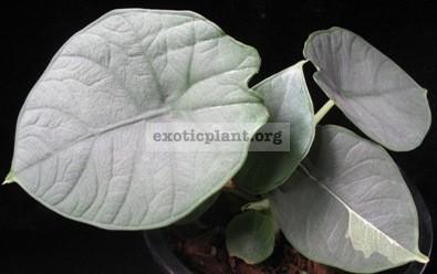 Alocasia sp.(T02) 30