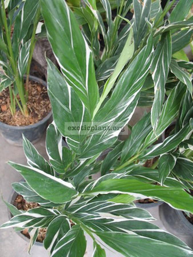 Alpinia vittata variegated 20