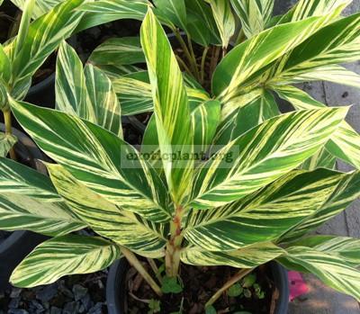 Alpinia zerumbet variegated 20