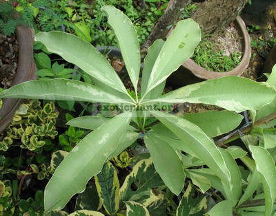 Alstonia scholaris albomarginata 25