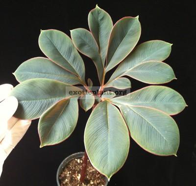 Amorphophallus atroviridis 20-30