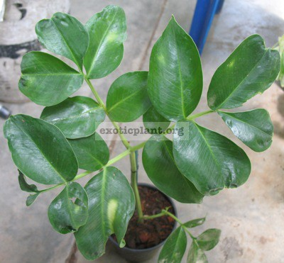 Amorphophallus sp.(T07) Prachinburi province Thailand 30