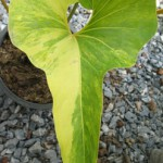 Anthurium Corong variegated 120-180