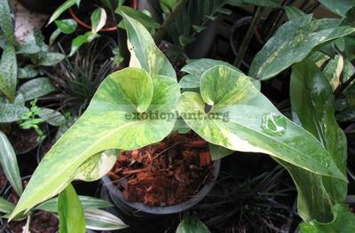 Anthurium Corong variegated 180