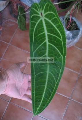 Anthurium 'Queen Anthurium' (exotic plant) 100